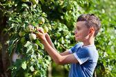 Boy picking apples — Stock Photo