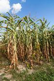 Corn field in a sunny autumn day — Stock Photo
