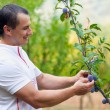 Young man picking plums from tree — Stock Photo