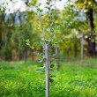 Young pear tree in an orchard — Stock Photo #12900460