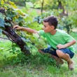 Cute boy picking grapes from vine — Stock Photo