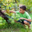 Cute boy picking grapes from vine — Stock Photo #12900478
