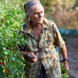 Senior woman in the vegetable garden - Photo