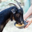 Senior woman feeding goat — Stock Photo #12900583