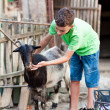 Schoolboy playing with goat - Stock Photo