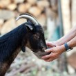 Senior woman feeding goat - Stock Photo