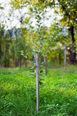 Young pear tree in an orchard — Stock Photo
