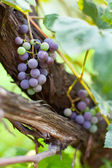Purple grapes on a vine, closeup — Stock Photo