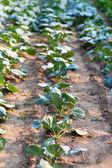 Cabbage garden — Stock Photo