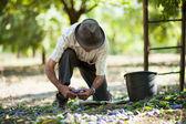 Senior man collecting plums — Stock Photo