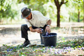 Senior man collecting plums — Stock Photo