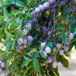 Closeup of a branch with plums — Stock fotografie