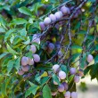 Closeup of a branch with plums — Foto Stock