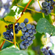 Bunches of grapes in the vineyard - Photo