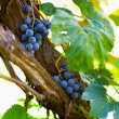 Bunches of grapes in the vineyard — ストック写真