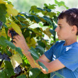 Schoolboy picking grapes from vines — Stock Photo #13227028