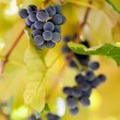 Bunches of grapes in the vineyard - Stock Photo