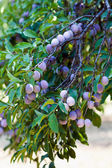 Closeup of a branch with plums — Stock Photo
