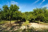 Landscape with plum trees orchard — Stock Photo