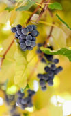 Bunches of grapes in the vineyard — Stock Photo