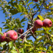 Ripe red apples in an orchard — Foto de Stock
