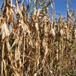 Stock Photo: Withered corn field with blue sky above