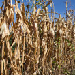 Withered corn field with blue sky above - Stock Photo