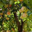 Apple tree in an orcjard — Stock Photo