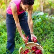 Young woman picking peppers in a basket - Stock Photo