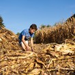 Child making stalks of stem after corn harvest — Stock Photo #14740433