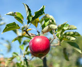 Ripe red apples in an orchard — Stock Photo
