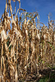 Withered corn field with blue sky above — Stock Photo
