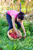 Young woman picking peppers in a basket — Stock Photo