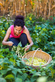 Woman picking bean pods in a basket — Stock Photo