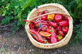 Closeup of a basket full of red peppers — Stock Photo