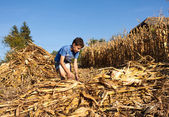 Child making stalks of stem after corn harvest — Stock Photo