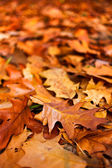 Fallen oak leaves — Stock Photo