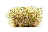 çeşitli mikrop lahanası — Stok fotoğraf