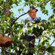 Photo: Old farmer picking cherries