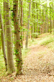 Young beech forest — Stock Photo