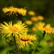 Stock Photo: Blossomed dandelion flowers