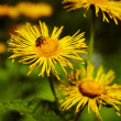 Dandelions and bee — Stock Photo