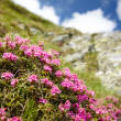 Mountain flowers — Stock Photo