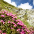 Mountain flowers — Stock Photo #30059515