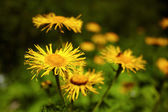 Blossomed dandelion flowers — Stock Photo