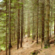 Spruce fir forest on a summer day — Stock Photo