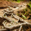 Closeup of tangled pine roots — Stock Photo