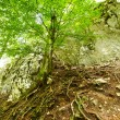 The root system of a tree in the mountains — Stock Photo #33515555