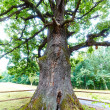 Centennial oak — Stock Photo #33515733