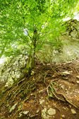 The root system of a tree in the mountains — Stock Photo